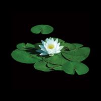 Stunning Lily Pad