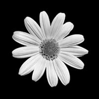 Plain Daisy